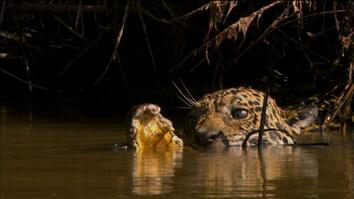 Jaguar vs. Caiman