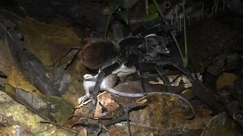 Watch giant Amazon spider prey on opossum