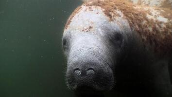 "Manatees explained: Inside the slow-paced lives of ""sea cows"""